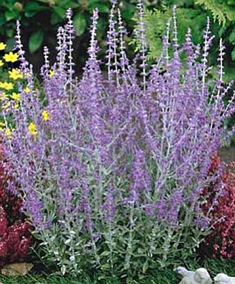 Courtesy photo<br>Branches of the Russian spires sage don't flop over like the spikes of its common cousins.