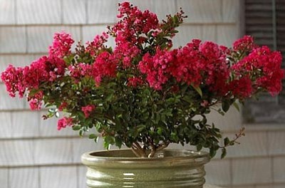 Courtesy photo<br>Cherry Dazzle crape myrtle enjoys great popularity because it is a consistent  summer bloomer.