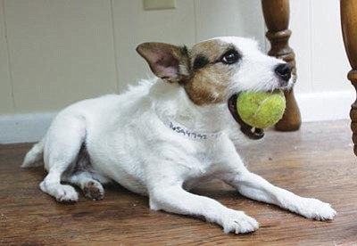 Courtesy photo<br> Lucky is a 7-year-old male purebred wirehaired Jack Russell terrier with a high play drive. He comes with the tennis ball. YHS often has purebred dogs available for adoption, and this month all dogs are just $25. Adoptions include spay/neuter surgery, microchip and vaccinations – a $400 value. If you are 59 or older, all adoption fees are waived. Donations are appreciated.