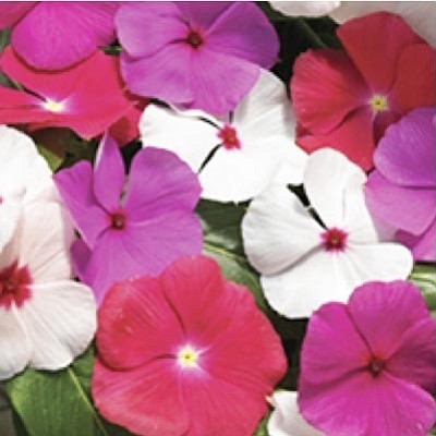 Courtesy photo<br>Unlike an old-fashioned vinca, Cora vinca is a heat lover that reblooms in heat-loving style.