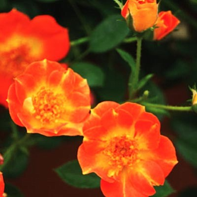 Courtesy photo<br /><br /><!-- 1upcrlf2 -->Paprika carpet rose grows like an easy-care re-blooming landscape carpet.