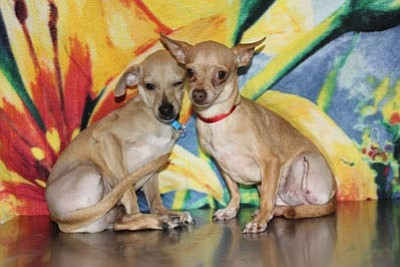 These two STAR Chihuahuas were rescued from an inexperienced backyard breeder unable to properly care for them. Bossley (left) is a 6-month-old male and Kelly (right) is a 6-year-old female. The dogs appear to be related. An abdominal midline scar on Kelly indicates a possible C-section. Each had a nonfunctional rear limb. Radiographs found that both dogs appeared to suffer from congenital anomalies and not fractures. The limbs appeared to have never been functional, with no chance they ever would be. They were amputated to enhance both dogs' quality of life. Kelly has a heart murmur and cleft lip (another congenital anomaly). Both dogs are friendly and sweet and have been adopted; however, YHS needs your help to care for other animals in need like Bossley and Kelly. Please read the accompanying article for more information on the YHS STAR program and how you can help.