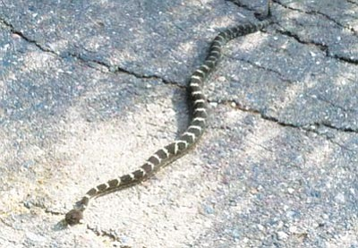 Courtesy<br>Eric Moore spotted this rattlesnake seen on Thumb Butte this week.