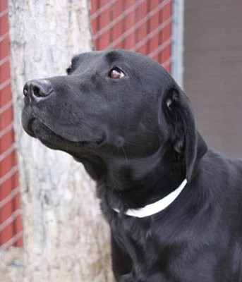Courtesy photo<br> Woogie is a 2-year-old male pure-breed Labrador retriever who makes friends easily with polite dogs; he is gentle enough for children and would be a great family dog. Because there has been so much interest in Woogie, he will be available for adoption by silent auction at 11:30 a.m. Saturday at YHS.
