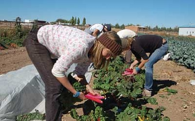 Ken Hedler/The Daily Courier<br> Stephani Freitag, foreground, bends down to pick chard from a field Thursday at Whipstone Farm in Paulden. Freitag and the three others behind her are learning organic farming at Whipstone through World Wide Opportunities on Organic Farms, or WWOOF.