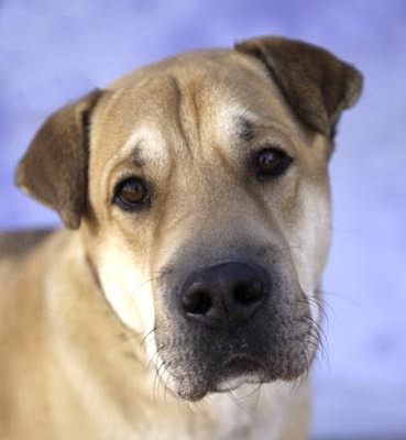 James Bethanis/Courtesy photo<br>Jake, a 3-year-old male Chinese Shar-Pei/Labrador retriever mix, has a distinctively handsome look about him and a charming character to match! This very friendly guy would love to expand his skill and obedience set. Other pets could be nice buddies for Jake after suitable introductions. He loves to be petted and adores you right back with his pleasing wagging tail and easy-going manner.