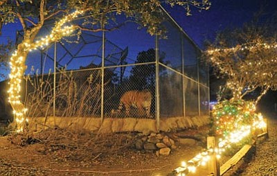 "Matt Hinshaw/The Daily Courier<br> The Heritage Park Zoological Sanctuary's Bengal tiger Cassie looks on during a preview of ""Wildlights and Animal Sights"" Tuesday. The event is open to the public 6 to 9 p.m. Friday and Saturday evenings through Dec. 29."