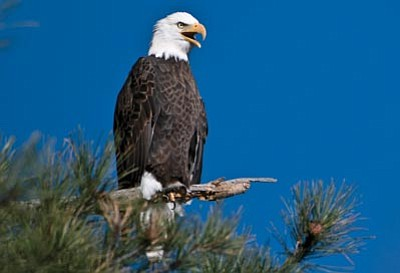 Les Stukenberg/The Daily Courier, file<br>A bald eagle surveys the landscape from a tree next to Lynx Lake on the Prescott National Forest.