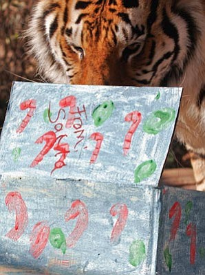 "HPZS/Courtesy photo<br>Cassie the bengal tiger sniffs treats that Santa brought her during the Heritage Park Zoological Sanctuary's ""Santa with the Animals"" event."
