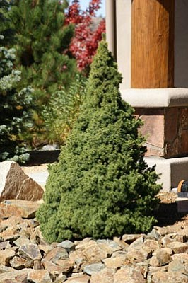Courtesy photo<br>When planted correctly evergreens can be planted successfully in winter.