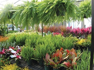 Courtesy photo<br /><br /><!-- 1upcrlf2 -->Ferns are houseplants that prefer less light and more humidity.