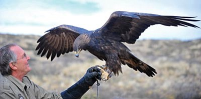 """Matt Hinshaw/The Daily Courier<br> Jerry Ostwinkle, the eagle education rehabilitation coordinator with Arizona Game and Fish, talks about his education Golden Eagle """"Magnum"""" after releasing a different Golden Eagle into the wild near Cherry on Thursday morning."""