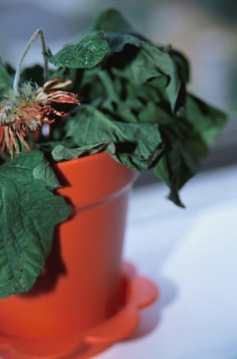 Know the symptoms for a dead and dying houseplant.