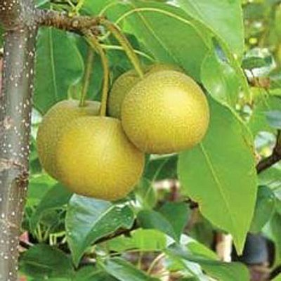 Courtesy photo<br>Prescott's Asian pear has a high acid content that adds a snappy tang like no other locally grown fruit.