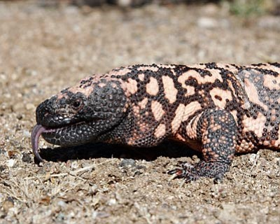 Courtesy photo<br>Moses the gila monster was rescued from floodwaters in 1993 and has been living at the Heritage Park Zoological Sanctuary ever since.