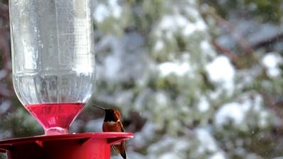 Courtesy photo<br>Welcome Rufous hummingbirds by putting up feeders.