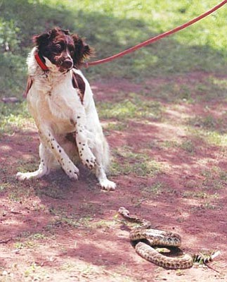 Courtesy photo<br> Vaccinate your dog against rattlesnake bites any Friday at the YHS Wellness Clinic (2989 Centerpointe East in Prescott) for just $16.  No appointment necessary. Call 771-0547 for more information.