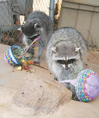 Courtesy HPZS<br>Raccoons dig into their Easter goodies during last year's Eggstravaganza at the Heritage Park Zoological Sanctuary in Prescott.