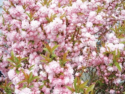 Courtesy photo<br>Few spring-blooming shrubs show off with the simple elegance of pink flowering almonds.