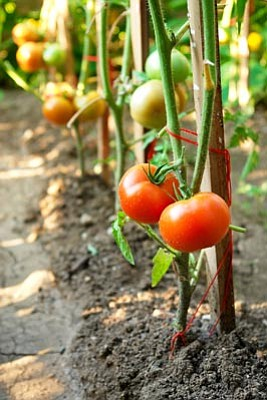 Photos.com<br>Be sure to choose climate-appropriate tomato varieties to plant.