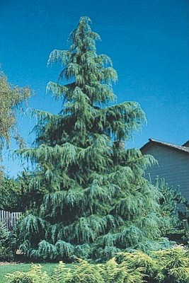 Courtesy photo<br /><br /><!-- 1upcrlf2 -->Deador cedar trees naturalize well and makes an excellent privacy screen and wind break.<br /><br /><!-- 1upcrlf2 -->