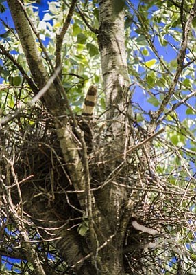 Courtesy Carol Lang<br>The Cooper's Hawk nest in Watson Woods.