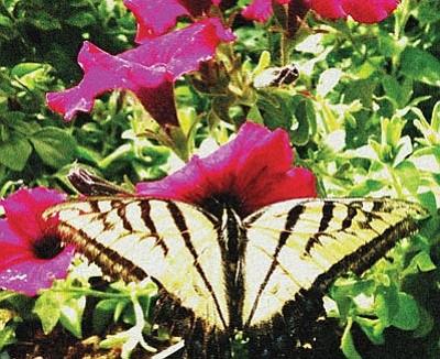 Courtesy photo<br>Monarch butterflies love the taste of purple Ramblin' Petunias.