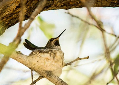 Carol Lang/Courtesy photo<br> A female Anna's Hummingbird sits in her nest in Watson Woods.
