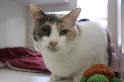 Courtesy<br>Samantha is a sweet, and still very agile, 10-year-old Calico. Sam is looking for a loving home where she can display her adoring yet independent and therapeutic tendencies.