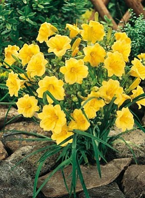 "Courtesy photo<br>Daylilly ""Stella de Oro"" thrives on summer's heat and blooms through fall."
