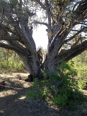 Courtesy GMHS<br>The Granite Mountain Hotshots climb on an ancient alligator juniper that they saved from the Doce fire on Granite Mountain. It is tied with another Prescott National Forest alligator juniper as the largest in the country.