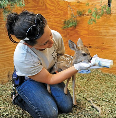 Matt Hinshaw/The Daily Courier<br> Senior Keeper Jennifer Harkrader feeds a week-and-a-half-old deer at the Heritage Park Zoological Sanctuary Thursday morning in Prescott.