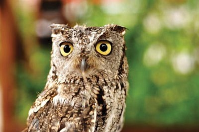 Photos.com<br>A western screech owl made an appearance during the Southwest Wings Birding and Nature Festival in Sierra Vista.