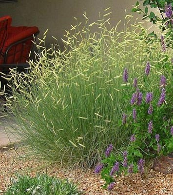 Courtesy photo<br>Blonde Ambition grama grass, a native, drought-hardy ornamental, is easy to grow.