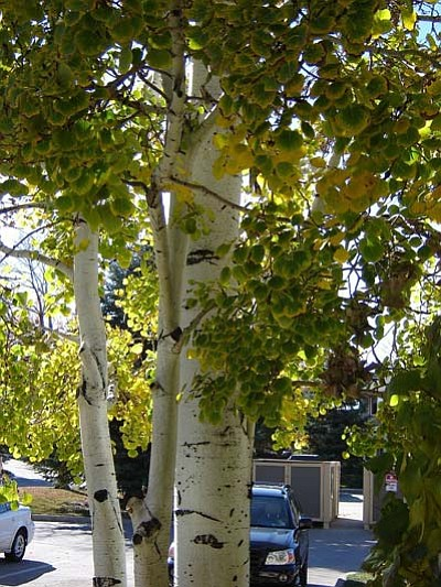 Courtesy photo<br /><br /><!-- 1upcrlf2 -->Large aspens thrive throughout the mountains of Arizona, and are best planted in September.