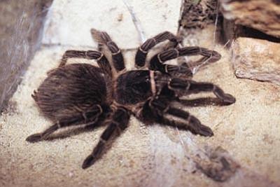 Photos.com<br> Don't bug out when you see a tarantula!