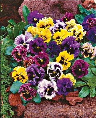 "Courtesy photo<br>""Flirty Skirts"" is a mountain-hardy variety pansy that is oh-so-easy to grow and loves our autumn weather. They frequently keep on blooming through winter, keeping beds and containers alive with color."