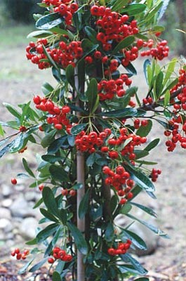 Courtesy photo<br>Welcome cooler weather with festive Victory Pyracantha.