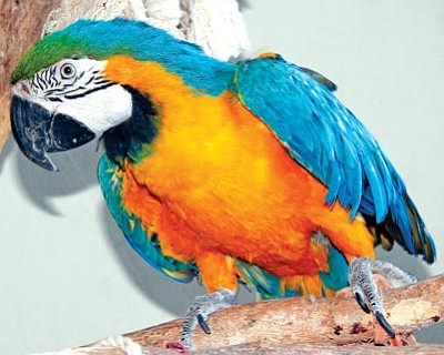 Courtesy photo<br>Mandy the Macaw has been a resident of Heritage Park Zoological Sanctuary since its 1988 opening.
