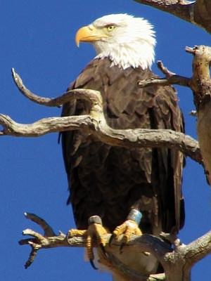 Courtesy photo<br>A bald eagle in the snag at Willow Lake.