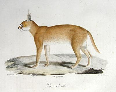 Courtesy Natural History Institute<br>This caracal drawing by Henri Louis Duhamel du Monceau is one of about 250 pieces of art that will be on display for the opening of the Natural History Institute, part of Prescott College.
