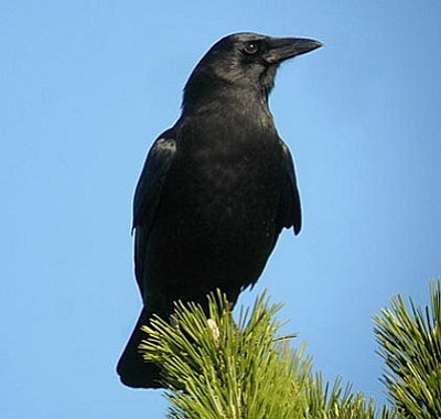 Courtesy photo<br>The American crow's unique vocalization makes it instantly distinguishable from the common raven.