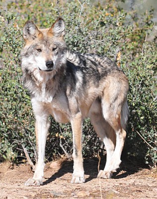 Les Stukenberg/The Daily Courier<br> Tasai, one of the two Mexican gray wolves at the Heritage Park Zoological Sanctuary in Prescott.