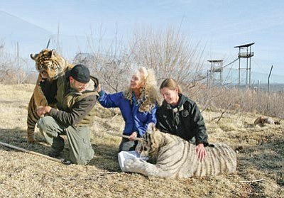 Bill Helm, Verde Valley News/Courtesy photo<br>Out of Africa Wildlife Park's Daniel Nichols, Meg Ruff and Prayeri Harrison interact with two tiger cubs recently confiscated from a private owner by Arizona Game and Fish.