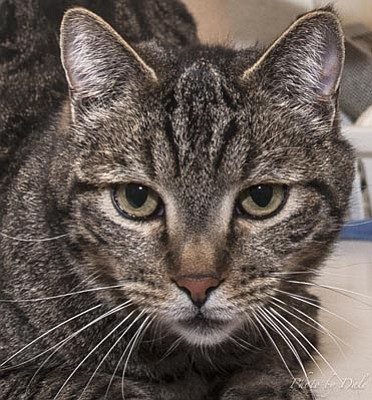 Courtesy photo<br>United Animal Friends is offering reduced adoption fees for cats and kittens from 11 a.m. to 2 p.m., Saturday, Feb. 15, in celebration of Valentine's Day in Kitty City at Petco and at Kachina Animal Hospital in Dewey. Bake sales will take place at both adoption events. Roscoe is one of many cats hoping to find a forever home during the one-day Valentine event.