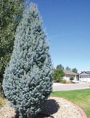 Courtesy<br>Large conifers are slow-growing, so they are best planted before April.