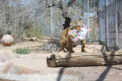 Courtesy photo<br>Cassie the tiger plays with her stuffed Easter bunny at the Heritage Park Zoological Sanctuary in Prescott during a past Eggstravaganza.