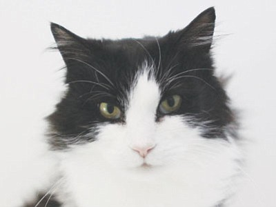 Missy is a 9-year-old tuxedo cat whose beauty and charm no picture can capture. She is very sweet and tender and in need of a quiet, loving home. She is the perfect lap cat, able to enjoy a good book with you. (Courtesy photo)