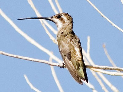 The plain-capped starthroat has a super-long beak. Eric Moore at first thought this bird was a blue-throated or magnificent hummingbird, and only later realized it was in fact a type that had previously eluded him all his life. (Courtesy photo)