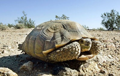 "AP photo<br> Officials with Arizona Game & Fish are trying to slow down the ""backyard breeding of endangered desert tortoises."